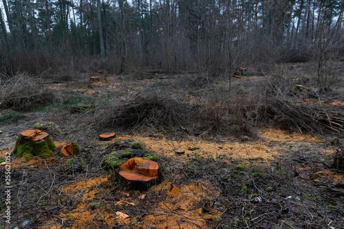 stumps after deforestation