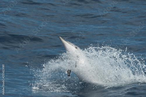 Dauphin bleu et blanc - 255623081