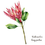 Watercolor illustration with king protea. Hand painted pink flower with leaves and branch isolated on white background. Nature botanical illustration for design, print. Realistic delicate plant. - 255631246