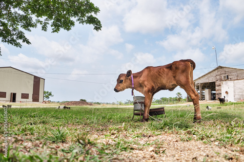 obraz PCV Brown calf in a meadow