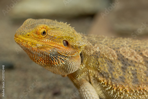Leinwanddruck Bild Pogona or Bearded dragon