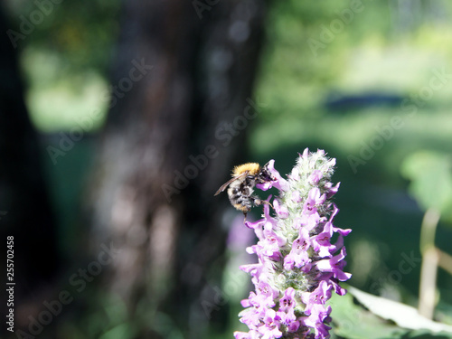 Bee on the lavender side - 255702458