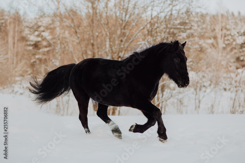 Black horse runs gallop in winter on the white snow in forest