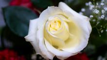 "Постер, картина, фотообои ""red white rose flovers rote rosen weise rosen"""