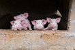Four adorable young pink pigs standing huddled with trotters on pen window sill watching