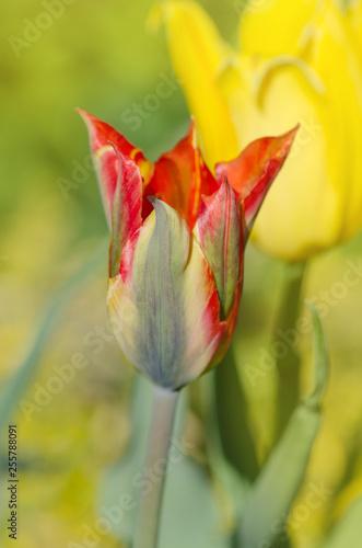 Leinwanddruck Bild Beautiful tulip Green River