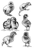 Graphical set chicks isolated on white, farm animal,vector