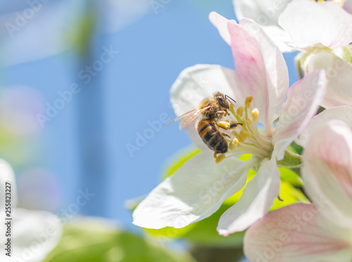 Domestic Honeybee (Apis mellifera) gathering pollen and nectar from apple flowers