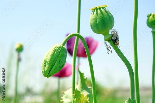 Papaver somniferum L Poppy Bud Field Agriculture Stock Photo - 255829827