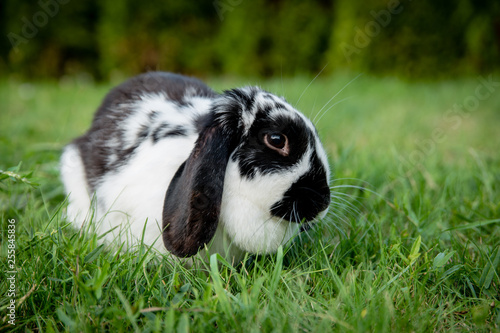 A black and white lop eared domestic bunny rabbit pet in a grass garden or field. Looking at camera