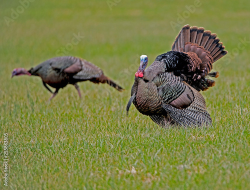 A male wild Turkey struts his tail feathers during the rutting season.