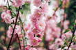 Close up pink plum flower blossom on tree in spring seasonal,natural background.dramtic tone filter.