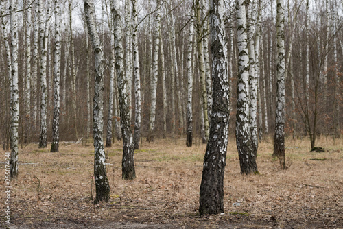 birch forest on early spring day - 255874041