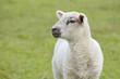 white lamb standing on pasture