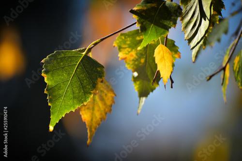 Birch leafs in autumn - 255910474