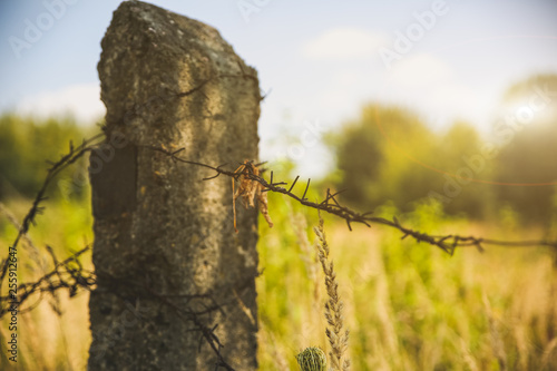 Barbed wire on the natural background. Old prison fence. Dry spikelets of the high grass are growing in the autumn field. Herbs of wheat.