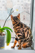 Home red with black spots Bengal cat sitting on a plastic window and sniffs Orchid flower, close-up