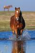 Sorrel horse walking through the water