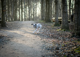 One young Dalmatian Dog running in the spring forrest