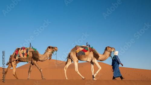 Dromedary caravan walking in Sahara desert