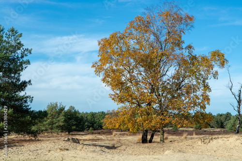 Landscape with yellow sand dunes, trees and plants and blue sky, National park Druinse Duinen in North Brabant, Netherlands