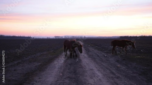 Three horses on field road on sunset background