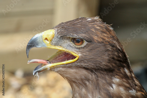 Eagle with mouth wide open and tongue sticking out