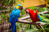 Blue-and-Yellow-Macaw. Parrot