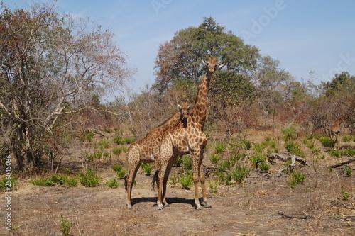 Giraffen Safari Senegal