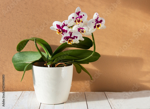 White orchid in purple spot in white pot on wooden table - 256046080