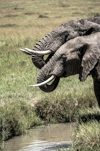 Closeup Two African Elephants Drinking