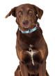 Chocolate Labrador Retriever Crossbreed Dog Close-up