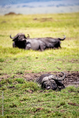 Lazy Cape Buffalo in Africa