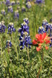 Bluebonnets with Indian Paintbrush Texas Wildflowers