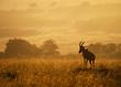 Leinwanddruck Bild - Topi on Mound in African Golden Sunrise