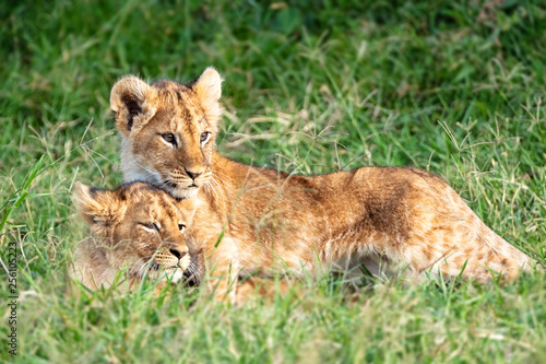 Two Lion Cubs Snuggling in Africa