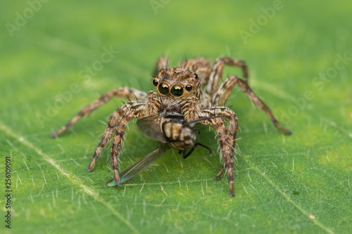 Beautiful Jumping Spider on green leaves of Sabah, Borneo