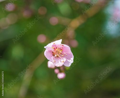 Beautiful peach flower on the...