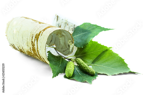 Twisted piece of birch bark with green branches. - 256131239
