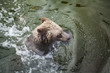 Brown bear floats in water