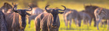 Fototapeta Sawanna - Common Wildebeest herd grazing panorama © creativenature.nl