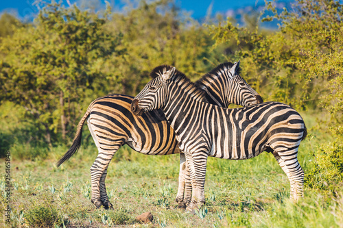 Two Common Zebra grooming in bright colors - 256165848