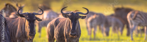 Common Wildebeest herd grazing panorama © creativenature.nl