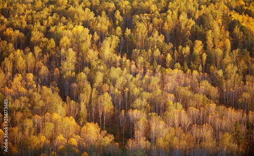Birch forest on a mountainside in the light of the setting sun. - 256173685