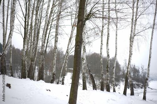Snowy winter trees-birches in cold white snow landscape - 256182624