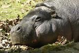 Fototapeta Sawanna - hipopotam © PAWEL