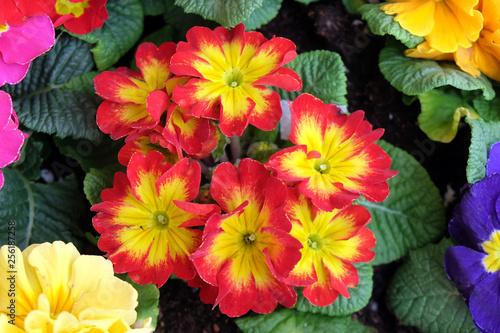 Primula, species of flowering plant in the family Primulaceae - 256187258