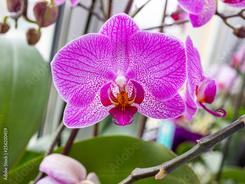 Orchid - 256200459