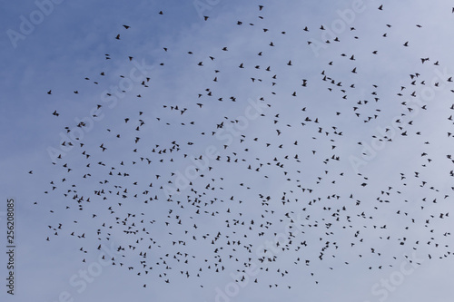 Flock of Common Starling (Sturnus vulgaris) flying with blue sky in background.