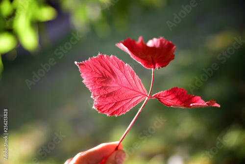 red leaves in light of sun - 256213828